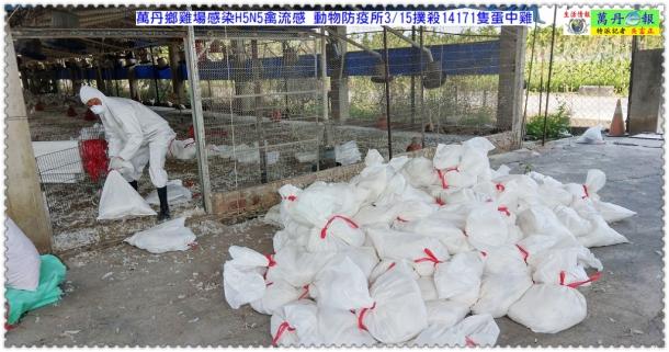 萬丹鄉雞場感染H5N5禽流感 動物防疫所撲殺14171隻蛋中雞